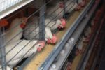 white hens eating in enriched cages