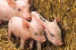 three-piglets