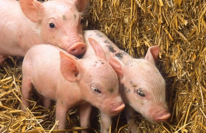 WEBINAR: HOW TO MANAGE PIGLET GUT HEALTH TO MAXIMIZE PROFITS