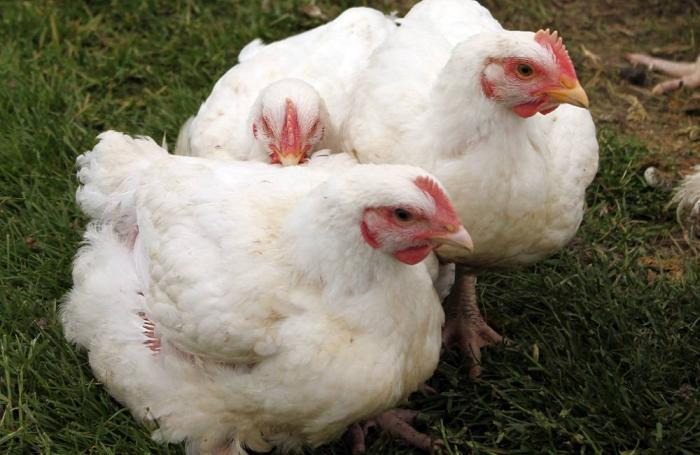 Avian influenza France