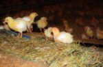 Perdue Farms is beginning to add enrichments to its broiler houses like perches, ramps and hay bales similar to those used in organic production as pictured here.
