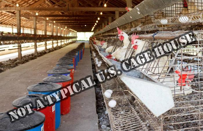 Chickens-in-battery-cages-laying-eggs-1607