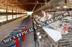 chickens-in-battery-cages-laying-eggs-1607.jpg