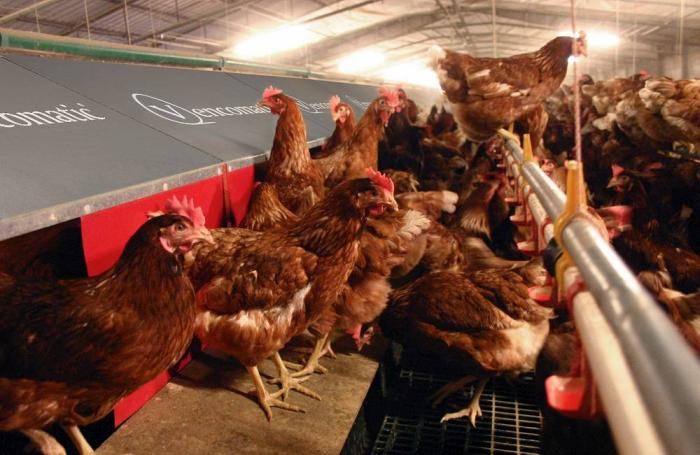 Cage-free floor systems trade density for freedom | WATTAgNet