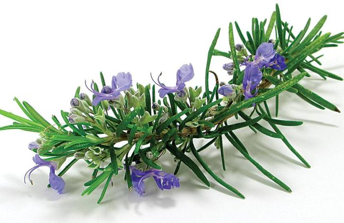 rosemary antioxidant animal feeds