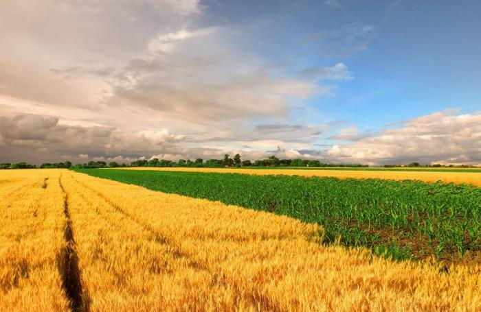 wheat-corn-fields.jpg