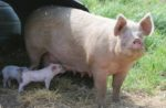 sow-two-piglets