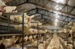 Cage-free hens