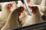 Cage-free hens.