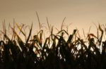 late-summer-sunset-over-corn-field