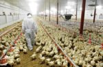 veterinarian at poultry farm
