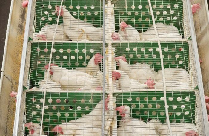 Caged layer hens.