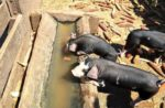 two piglets drinking