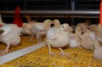 caged broilers
