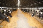 feeding enzymes to dairy cows