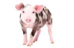 piglet-white-background