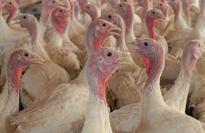 Turkeys at a farm in Loose Creek, Missouri. | Austin Alonzo