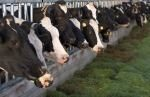 enzymes fed to dairy cows