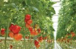 tomatoes-in-greenhouse.jpg