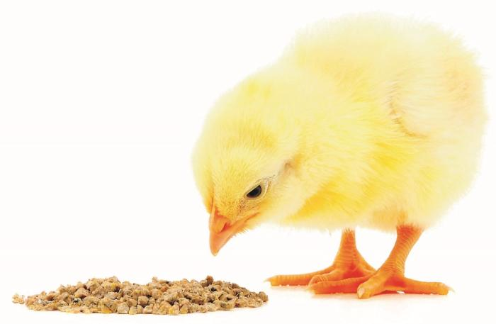 Fotolia_chick-eating