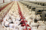 broiler chicken farm