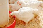 poultry-eating-1.jpg