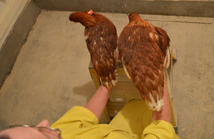 How To Turn Marginal Pullets Into Strong Adult Layers