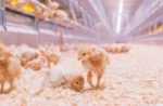 Pullets in litter