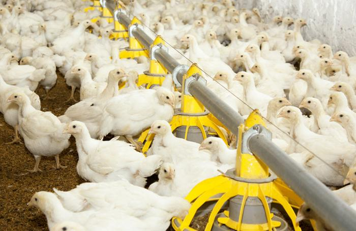 Young-broilers-on-farm-kharhan-bigstock1