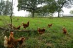 Mid-States Specialty Eggs hens in the pasture.