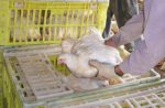 Capture-Broilers-By-The-Body-1.jpg