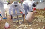 West African poultry training