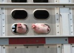 pig noses looking out of trailer