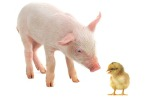 piglet and chick