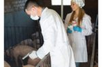 veterinarians giving injections to pigs