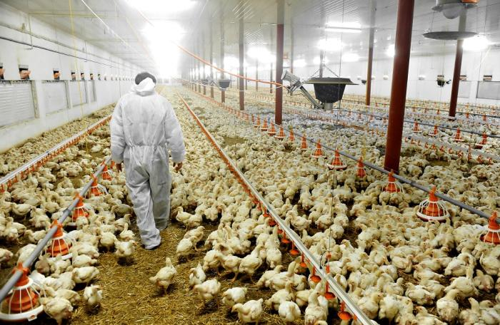 Bigstock-poultry-farm-and-a-veterinary