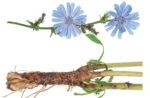 chicory plant flower root