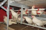 Cage-free hens inside an aviary system