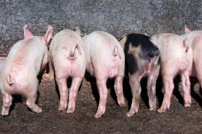 Secrets of successful piglet feeding after weaning wattagnet piglets eating 1411pigpiglets publicscrutiny Choice Image