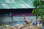 Backyard-chicken-Thailand-1.jpg