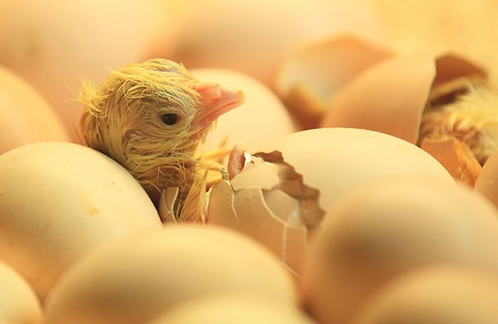 Chick-hatching-without-sexing