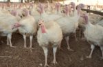 A commercial turkey flock