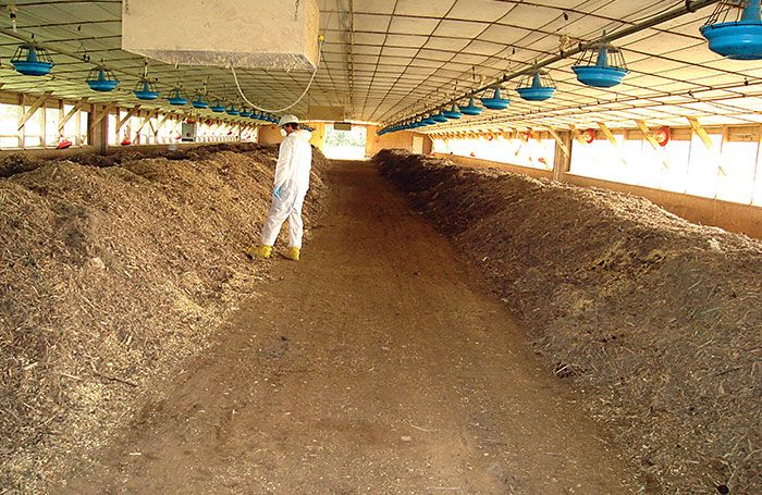 Composting-mortalities-inside-poultry-house.jpg