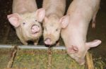 piglets eating from trough