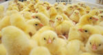 chicks-incubation-yellow