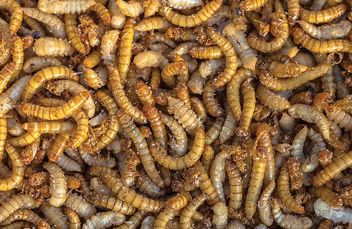 meal-worms-animal-feed.jpg