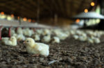 chicks-in-house
