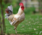 rooster-freeimages