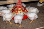 Broiler pullets eating feed