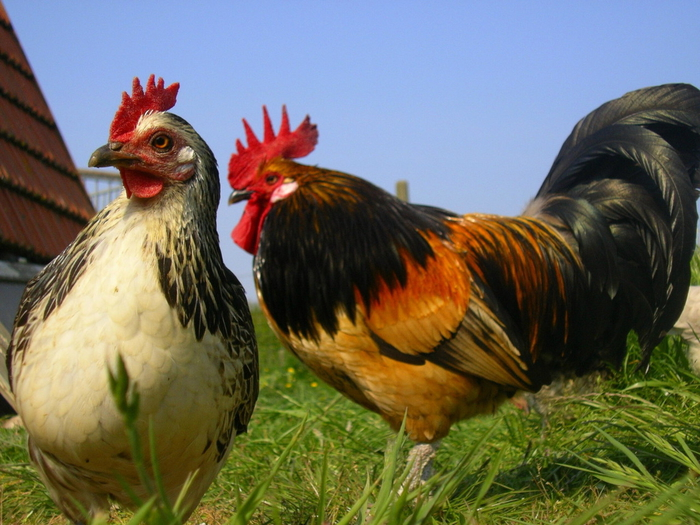 Hen-and-rooster-freeimages